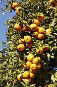 Oranges. Valencia,  Comunidad Valenciana,  Spain
