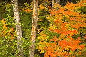 Vine maple (Acer circinatum) with alder, Mt Rainier National Park, Washington, USA