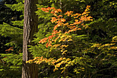 Autumn vine maple (Acer circinatum) with Douglas fir (Pseudotsuga menziesii), Mt Rainier National Park, Washington, USA