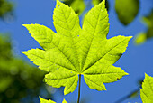 Vine maple leaf, Mt Hood National Forest, Columbia River Gorge National Scenic Area, OR