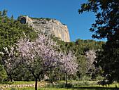 almond trees, blossoms, below the mountain Puig Son Cadena, Tramuntana Mountains, near Alaro, Majorca, Balearic Islands, Spain