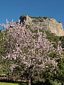 almond trees, blossoms, with the mountain Puig son Cadena in the background, near Alaro, Tramuntana Mountains, Majorca, Balearic Islands, Spain