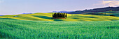 Cypress Trees in Field of Crops, San Quirico D'orcio, Tuscany, Italy