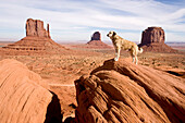 Dog standing on a rock in the Monument Valley, Anatolian Shepherd, Kangal, Monument Valley, Arizona, USA