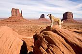 Hund steht auf Felsen im Monument Valley, Anatolischer Hirtenhund, Kangal, Monument Valley, Arizona, USA