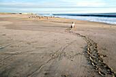 Child crawling over the beach towards birds, Punta Conejo, Baja California Sur, Mexico