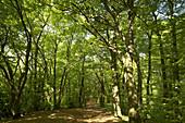 Path in deciduous forest, Porta Westfalica, North Rhine-Westphalia, Germany