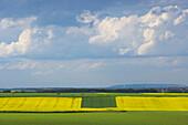 field with rape-seed near Kommern, Eifel, outdoor photo, spring, day, North Rhine-Westphalia, Germany, Europe
