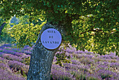 Advertisement for lavender honey on a tree in a lavender field, Vaucluse, Provence, France, Europe