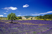 Farm and lavender field under blue sky, Vaucluse, Provence, France, Europe