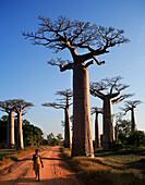 Avenue of baobab trees, Morondava, near, Madagascar