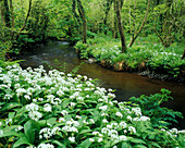 Wild Garlic growing on riverbank, Wild Garlic, Flowers and Foliage, Natural World