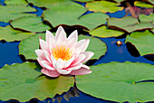Close up of pink waterlily, Waterlily, Flowers and Foliage, Natural World