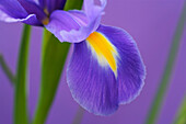 Close up of blue iris, Flowers and Foliage, Natural World
