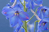 Close up of delphiniums, Flowers and Foliage, Natural World