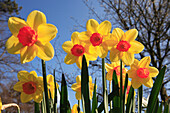 Daffodils, Flowers and Foliage, Natural World