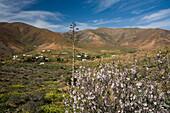 Almond blossom in a valley under clouded sky, La Vega de Rio de las Palmas, Parque Natural de Betancuria, Fuerteventura, Canary Islands, Spain, Europe