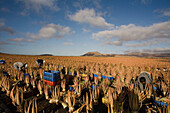 Workers on an aloe vera plantation, Valles de Ortega, Fuerteventura, Canary Islands, Spain, Europe