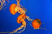 Sea Nettles Jellyfish, Chrysaora fuscescens, in Aquarium in Vancouver City im Stanley Park, Canada, North America