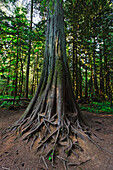 Giant tree in Cathedral Grove McMillan Provincial Park on Vancouver Island, Canada, North America