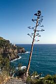 Agave at the hiking trail near Manarola, Cinque Terre, Liguria, Italian Riviera, Italy, Europe