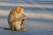 Monkey sitting on the road at Khao Yai National Park, Province Khorat, Thailand, Asia