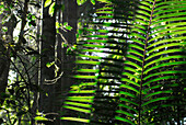 Rattan leaves in the jungle, Khao Yai National Park, Province Khorat, Thailand, Asia