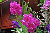 Orchids blooming at Jim Thompson House, Bangkok, Thailand, Asia