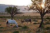 Horses and foals grazing on a field in the morning light, Domusnovas, Sardinia, Italy, Europe