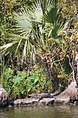 Alligator under a palmetto palm tree, Attakapas Landing on Lake Verret, near Pierre Part, Louisiana, USA