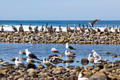 Pelicans and sea gulls sitting on stones on the waterfront, Punta Conejo, Baja California Sur, Mexico, America