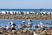 Pelikane und Seemöwen sitzen auf Steinen am Meer, Punta Conejo, Baja California Sur, Mexiko, Amerika