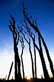 View at an Ocotillo cactus at sunset, Catavina, Baja California Sur, Mexico, America