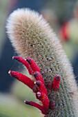 Cactus, lat. Cleistocactus Brookeae from Bolivia in the botanical garden, Jardin de Cactus, artist and architect Cesar Manrique, Guatiza, Lanzarote, Canary Islands, Spain, Europe