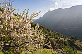 Almond tree with blossom near La Caldera, above the Barranco de las Angustias gorge, National Park, Parque Nacional Caldera de Taburiente, giant crater of an extinct volcanio, Caldera de Taburiente, natural preserve, UNESCO Biosphere Reserve, La Palma, Ca