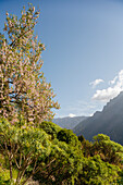 Almond tree with blossom, near La Caldera above the Barranco de las Angustiasgorge, National Park, Parque Nacional Caldera de Taburiente, giant crater of an extinct volcanio, Caldera de Taburiente, natural preserve, UNESCO Biosphere Reserve, La Palma, Can