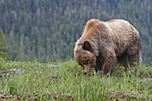 Grizzly Bear eating grass in the Khuzemateen Grizzly Bear Sanctuary,  British Columbia,  Canada