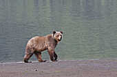 Grizzly Bear eating clams in the Khuzemateen Grizzly Bear Sanctuary,  British Columbia,  Canada