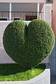 Heart shaped bush, Estreito de Camara de Lobos, Madeira, Portugal