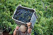 Man carrying a basket full of grapes, Grape harvest in the vineyard of the Madeira Wine Company, Estreito de Camara de Lobos, Madeira, Portugal
