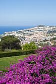 Purple Bougainvillea in Jardim Botanico Botanical Garden, Funchal, Madeira, Portugal