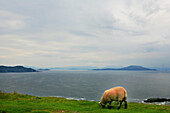Grazing sheep in front of ocean and coast area, Achill Island, County Mayo, west coast, Ireland, Europe