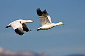 Snow Geese in flight, Anser caerulescens atlanticus, Chen caerulescens, Bosque del Apache Wildlife Refuge, New Mexico, USA
