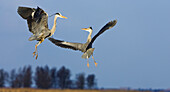 Grey Herons fighting, Ardea cinerea, Usedom, Mecklenburg-Vorpommern, Germany, Europe
