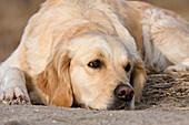 Golden Retriever, domestic dog, Germany, Europe