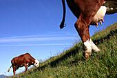 Abondance Cows In Alpine Pasture, Savoie (73)