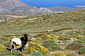 Cri-Cri Goat On The Cretan Moors, Crete, Greece