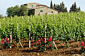 Landscape Of Vineyards, Montalcino Region, Known For Its Appellation Brunello Viticulture And Its Montalcino Red, Montalcino Region, Tuscany, Italy