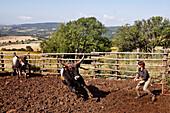 Farmer Capturing A Maremma Ox, Maremma Cattle Farm, Agro-Tourism, Agriturismo Aia Della Colonna In The High Maremma, 10 Km From Saturnia, Usi, Maremma, Tuscany, Italy