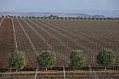 Vineyards Near Casablanca, Terroir Of Rommani, Morocco, Maghrib, North Africa